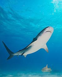 tiger shark, Galeocerdo cuvier, and lemon shark, West End, Grand Bahama, Bahamas, Caribbean, Atlantic Ocean