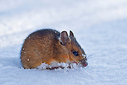 Found this mouse searching for food in the snow.