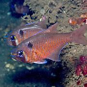 Blackspot Cardinalfish inhabit reefs. Picture taken Beangabang Bay, Panta, Indonesia 2014.