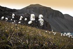 July 21, 2019 - Arctic Cotton, Nunavut, Canada (Credit Image: © Richard Wear/Design Pics via ZUMA Wire)