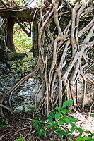 Strangler Fig roots growing over an abandoned church, Vamizi Island, Mozambique