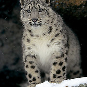 Snow leopard (Panthera uncia) inhabits the Himalayas in Asia. Captive Animal