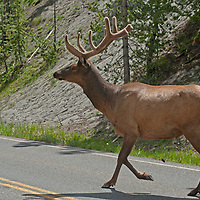 A Bull Elk (Cervus canadensis) crosses a road in Yellowstone National Park.