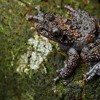 South-Vietnamese Bug-Eyed Frog (Theloderma vietnamense). Thua Thien Hue, Vietnam.