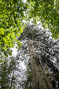 Evergreen & deciduous tree canopy. Deception Pass State Park, Whidbey Island, Washington, USA