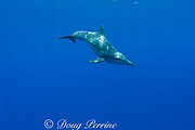 rough-toothed dolphin ( Steno bredanensis ), Kona, Hawaii ( Central Pacific Ocean )