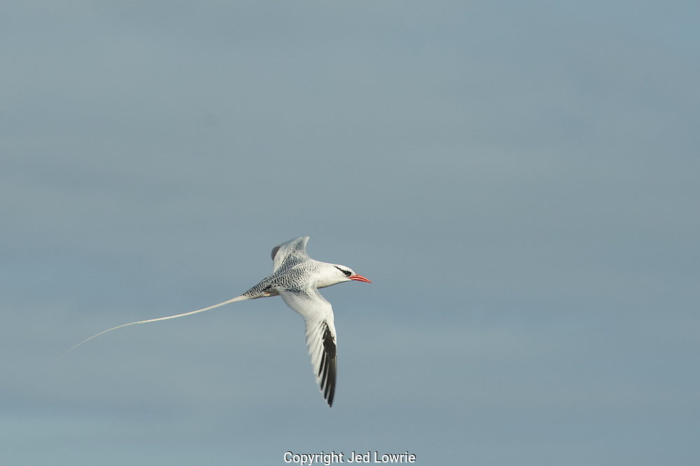 The long tail feathers of the Tropicbird give it a unique outline in the sky.  This bird is well suited to dive after fish or squid from a hovering position; or in some cases streak across the top of the water and catch jumping fish.