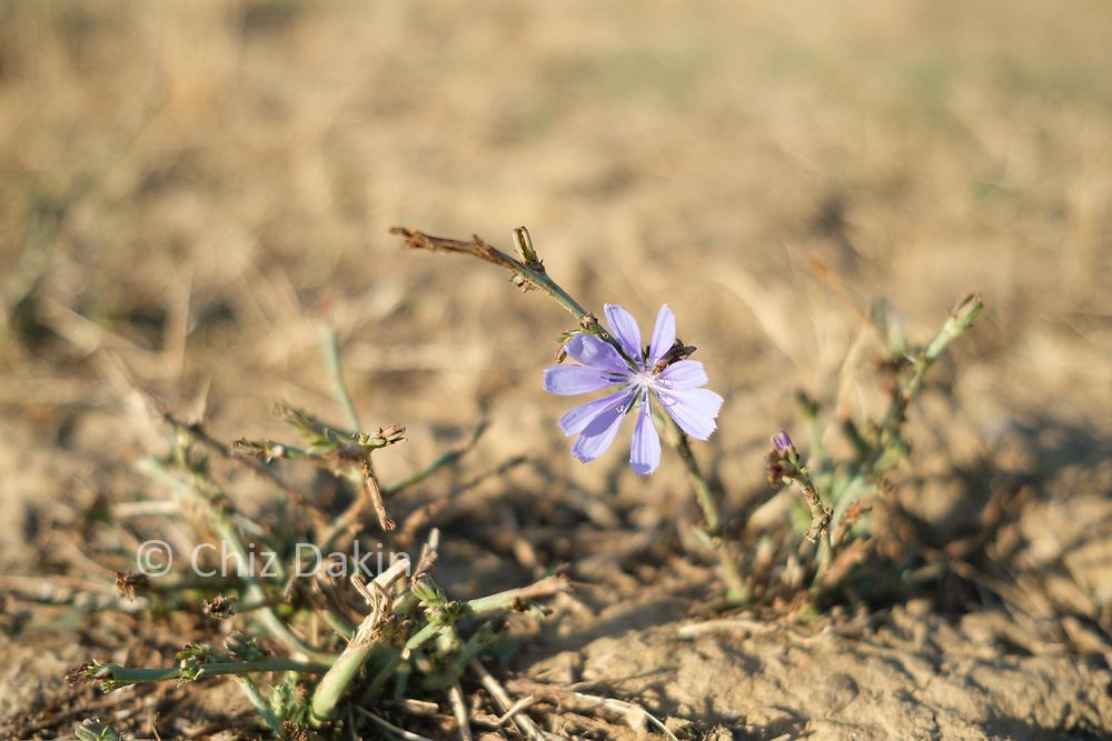 Tuscan countryside near Sinalunga (purple cornflower)