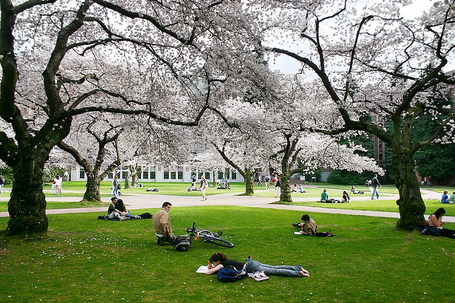 Students hang out, study and lay out on the grass under the blooming cherry trees in the Quad at the University of Washington campus in Seattle, Washington on March 8, 2005.