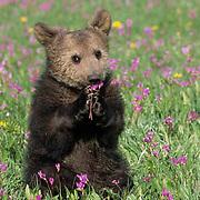 Alaskan Brown Bear, (Ursus middendorffi) Young spring cub in flowers. Captive Animal.