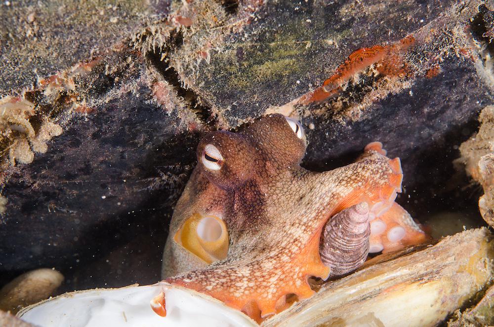 Octopus, Pinnoctopus cordiformis