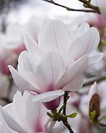 Magnolia sprengeri 'Diva', Kew Gardens, London, UK