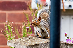 A Grey Squirrel (Scientific name Sciurus Carolinensison) sits alert on a stone gatepost during a brief visit to a small Sheffield suburban garden.<br /> <br /> 20 August 2021<br /> <br /> www.pauldaviddrabble.co.uk<br /> All Images Copyright Paul David Drabble - <br /> All rights Reserved - <br /> Moral Rights Asserted -