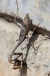 Carolina mantis (Stagmomantis carolina) is a species of praying mantis of the subfamily Stagmomantinae.