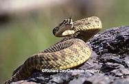 02915-00104 Western Rattlesnake (Crotalus viridis) MT