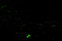 Firefly Trails [2145-2159]. Composite of image takens with a Nikon D4 camera and 200 mm f/2 VR lens (ISO 800, 200 mm, f/8, 30 sec).