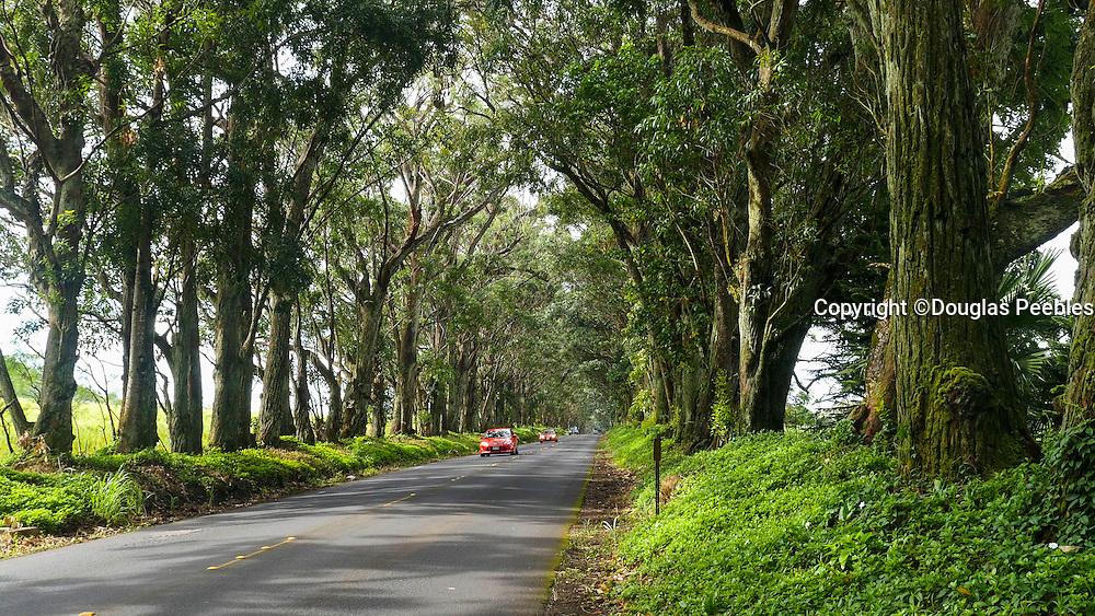 Tree Tunnel, Swamp Mahogany, Eucalyptus, Poipu, Kauai, Hawaii