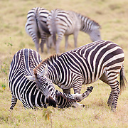 """Zebras playing in Kenya, Africa.<br /> <br /> For all details about sizes, paper and pricing starting at $85, click """"Add to Cart"""" below."""