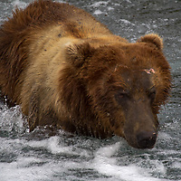 USA, Alaska, Katmai. Grizzly in flowing river water.