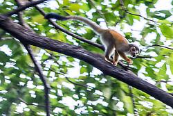 Grey-crowned Central American squirrel monkey in tree, Manuel Antonio National Park, Costa Rica