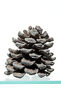 opened up pine cone