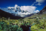 Giant lupines (Lupinus weberbauerii) grow meter-tall flower stalks below snowy Mount Taulliraju (19,100 feet) in Tingopampa Valley, near Punta Union Pass, on the Santa Cruz Trek in Huascaran National Park, Peru, South America. Lupinus is a genus in the pea family (also called the legume, bean, or pulse family, scientific name Fabaceae or Leguminosae). UNESCO honored Huascaran National Park on the World Heritage List in 1985. Cordillera Blanca mountain range is in the Sierra Central of the Peruvian Andes.