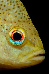 Lepomis gibbosus, Gemeiner Sonnenbarsch oder Kuerbiskernbarsch, Kopfportrait,  pumpkinseed sunfish, Head Portrait, Ginnie Spring, High Springs, Gilchrist County, Florida, USA, United States