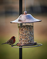 House Finch. Image taken with a Nikon Df camera and 300 mm f/4 telephoto lens (ISO 500, 300 mm, f/4, 1/320 sec)
