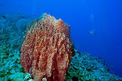 giant barrel sponge, Xestospongia muta, Cemetary Wall, Cayman Brac, Caribbean Sea