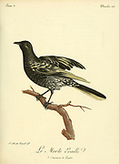 MERLE ÉCAILLÉ [Blackbird] from the Book Histoire naturelle des oiseaux d'Afrique [Natural History of birds of Africa] Volume 3, by Le Vaillant, François, 1753-1824; Publish in Paris by Chez J.J. Fuchs, libraire 1799 - 1802