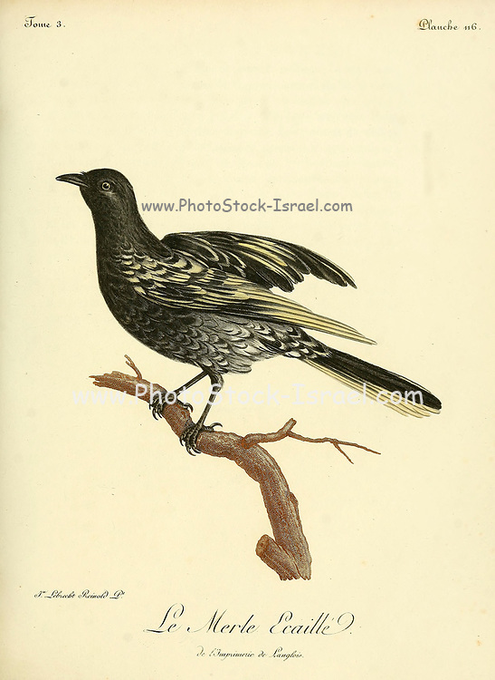 MERLE ÉCAILLÉ [Blackbird] from the Book Histoire naturelle des oiseaux d'Afrique [Natural History of birds of Africa] Volume 3, by Le Vaillant, François, 1753-1824; Publish in Paris by Chez J.J. Fuchs, libraire 1799 - 1802