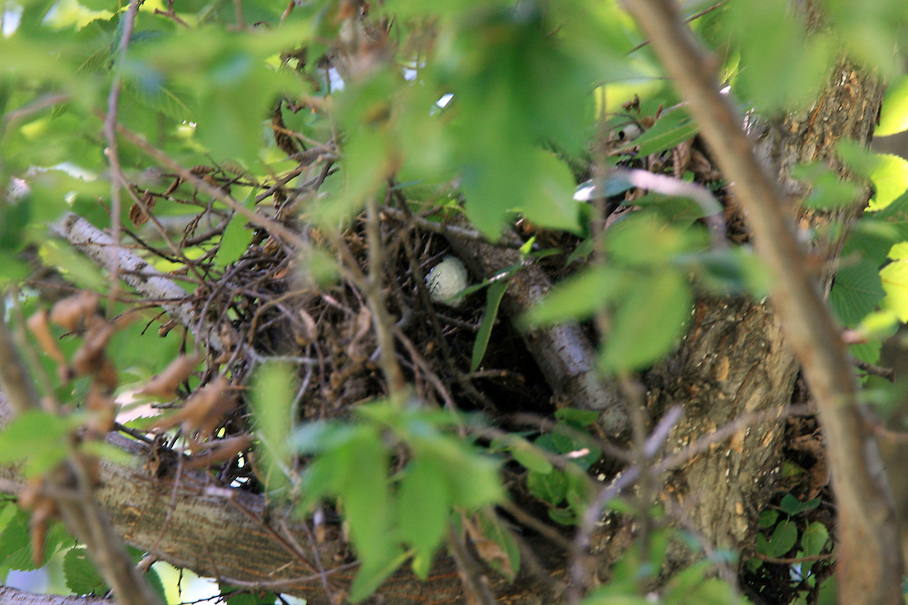 12 August 2007: John Daly's ball is lodged in a bird's nest in a tree right of the 5th fairway during the final round of the 89th PGA Championship at Southern Hills Country Club in Tulsa, OK.