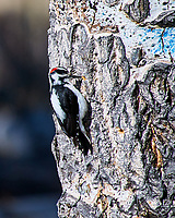 Hairy Woodpecker working a tree at Lily lake in Rocky Mountain National Park. Image taken with a Nikon D300 camera and 80-400 mm VR lens (ISO 200, 400 mm, f/5.6, 1/1000 sec).