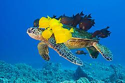 green sea turtle, Chelonia mydas, being cleaned by tellow tang, Zebrasoma flavescens, endemic gold-ring surgeonfish, Ctenochaetus strigosus, and endemic saddle wrasse, Thalassoma duperrey, Kona Coast, Big Island, Hawaii, USA, Pacific Ocean