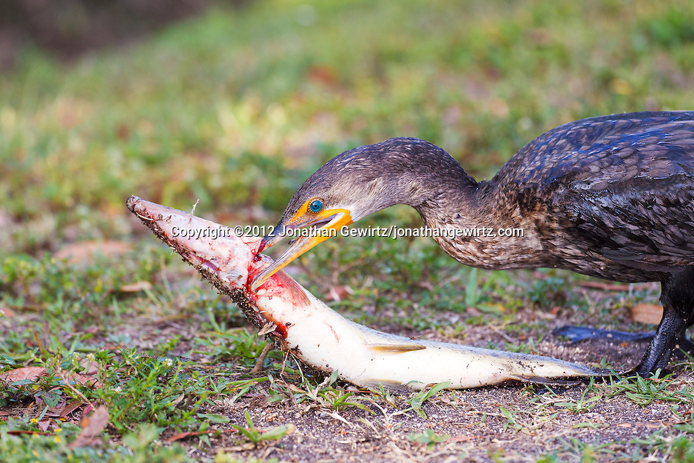 A Double-crested Cormorant (Phalacrocorax auritus) eats a big fish. Anhinga Trail, Everglades National Park, Florida. WATERMARKS WILL NOT APPEAR ON PRINTS OR LICENSED IMAGES.