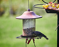 Brown-headed Cowbird. Image taken with a Nikon D850 camera and 200 mm f/2 VR lens