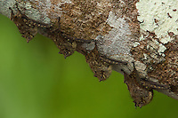 Long-nosed Bats on a tree trunk over the Anangu lagoon in Yasuni National Park, Orellana Province, Ecuador