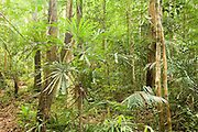 Ancient rainforest in Endau-Rompin National Park, Malaysia. Untouched by the ice ages, this is the world's oldest forest.