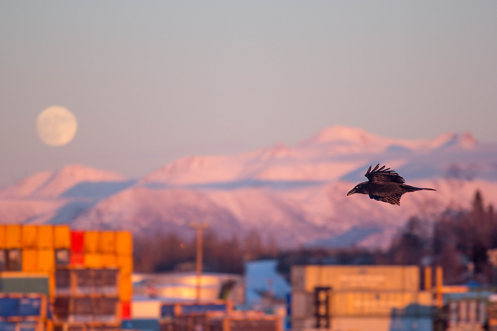 A raven flying around at the port of Anchorage.