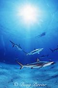 diver and blacktip sharks, Carcharhinus limbatus, Walker's Cay, Bahamas ( Western Atlantic )