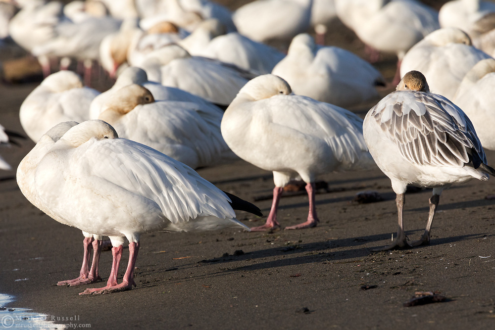 Snow Geese (Anser caerulescens) resting during their fall migration at Iona Beach Regional Park in Richmond, British Columbia, Canada.  Richmond and Delta fields and wetlands are often a stop over for the Snow Geese as they migrate from their summer breeding grounds to warmer winter habitat.
