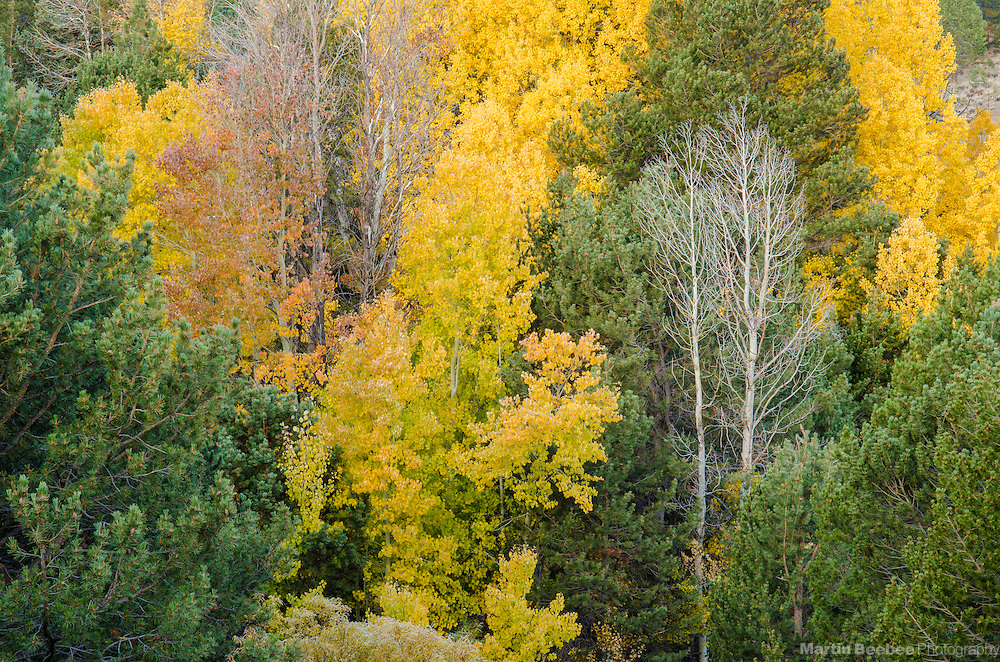 Quaking aspen (Populus tremuloides), fall, Hope Valley, Toiyabe National Forest, California