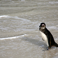 Africa, South Africa, Simons Town, Boulders Beach. African Penguin steps from waves at Boulders Beach near Simons Town on False Bay.