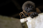 Lago Agrio - Thursday, Dec 13 2007: A young Brown Woolly Monkey, Lagothrix lagotricha, looks down from where it was tethered. (Photo by Peter Horrell / http://www.peterhorrell.com)