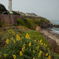 Yellow bush lupines bloom near the Pigeon Point Lighthouse on the Pacific Ocean coast near Pescadero, California.