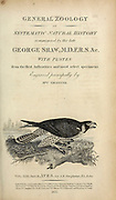 from volume XIII (Aves) Part 2, of 'General Zoology or Systematic Natural History' by British naturalist George Shaw (1751-1813). Griffith, Mrs., engraver. Heath, Charles, 1785-1848, engraver. Stephens, James Francis, 1792-1853 Published in London in 1825 by G. Kearsley