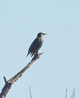 European Starling (Sturnus vulgaris). Image taken with a Nikon N1V3 camera and 70-300 mm VR lens.