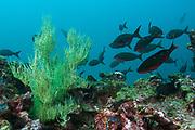 Black Coral (Antipathes sp.)<br /> Central Isles<br /> GALAPAGOS ISLANDS<br /> ECUADOR.  South America