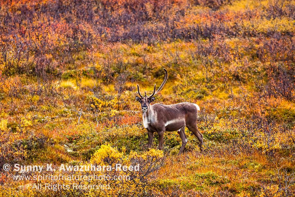 Female Caribou standing in fall color tundra, Denali National Park & Preserve, Interior Alaska, Autumn.