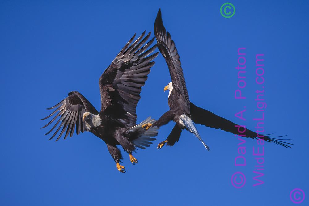 Adult bald eagle (R) aggressively intercepting 4th year juvenile in flight, Alaska, ©